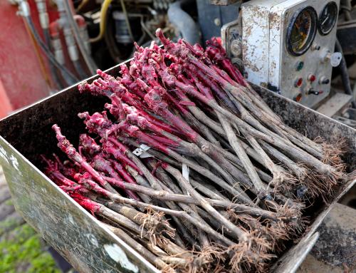 Replanter de la vigne en Auvergne
